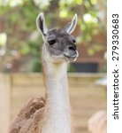 Llama Head Portrait.