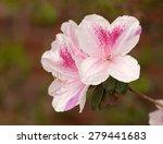 Close Up Of Pink Azalea Flower...