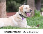 labrador portrait   Shutterstock . vector #279519617