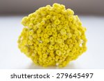 Helychrysum Flower  Immortelle...