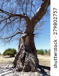 Small photo of majestic old baobab tree (Adansonia digitata)) - Ngoma, Botswana Zimbabwe border