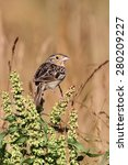 Small photo of Threatened Grasshopper Sparrow (Ammodramus savannarum) on a plant stalk