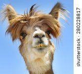 Stock photo colorful photograph of an isolated alpaca with wild messy funny hair 280228817