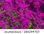 Blooming Bougainvillea