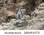 Humboldt Penguin Stand On The...