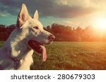 Gorgeous Large White Dog In A...
