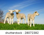 Cute Lambs In Spring  The...