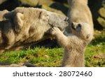 close up of a polar bear and... | Shutterstock . vector #28072460