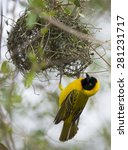 Small photo of Southern masked weaver with nest