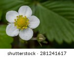 Wild Strawberry Flower With...
