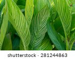 A Bunch Of Canna Lily Leaves ...