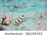 Small photo of Magnus prawn-goby (Amblyeleotris sungami) in the Red Sea, Egypt.
