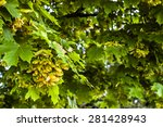 Maple Tree Branch With Bunch O...