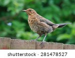 Young Blackbird Perched On Woo...