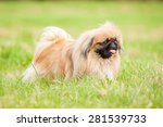 Pekingese Dog Walking Outdoors