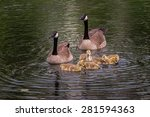 Goose Family  Brant Canadensis...