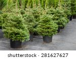 Christmas Trees In Pots For Sale