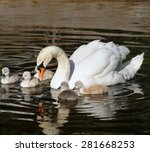 Beautiful Mute Swan With Her 5...