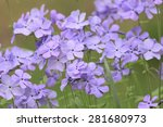 Purple Phlox Are Small...