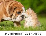 Stock photo english bulldog puppy with a little kitten 281764673