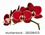 Red Orchid Isolated On White...