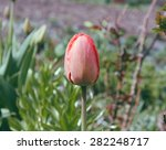 Closed Red Tulip In The Vilaag...