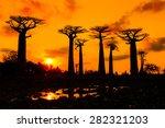 beautiful baobab trees at... | Shutterstock . vector #282321203