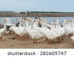 geese at a farm | Shutterstock . vector #282605747