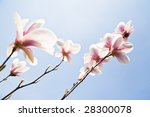 Magnolia Flowers On Clear Sky