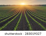 Corn Field. The Lines In Natur...
