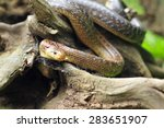 Small photo of Aesculapian snake on a tree stump