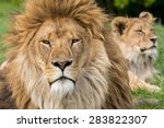 Father And Son  Lion And Male...