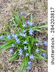 Small photo of Wood squill (Scilla siberica) flowers