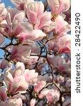 Magnolia Tree In Schonbrunn...