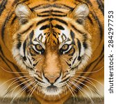 Beautiful Amur Tiger Portrait....