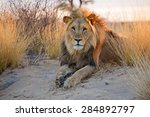Big Male African Lion  Panther...