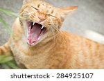 Portrait Of  Cat Yawning