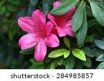 Pink Satsuki Azalea Blooming...