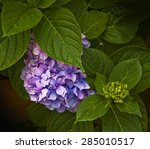 Beautiful Hydrangea Plant With...