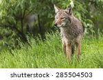 Small photo of A lone coyote in a forest