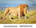 Lion In The Lion Park  Kwazulu...