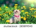 Stock photo little kitten wearing bow tie in the dandelion flowers 285899543