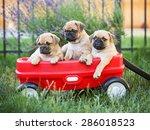 Three  Pug Chihuahua Mix   Chu...