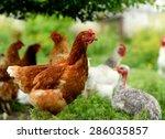 Chicken In Grass On A Farm