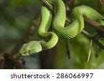 Green Snake in rain forest.