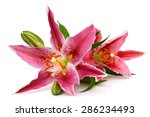 Stock photo fresh pink lily flower isolated on white 286234493