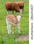 Small photo of Young curious calf looks at the photographer
