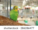Green Parakeet In Cage