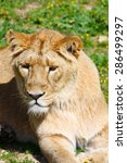 portrait of a barbary lion ... | Shutterstock . vector #286499297