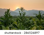 Tobacco Farm In Countryside...